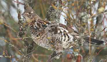 Plan your own successful grouse hunt with advice compiled over the years.