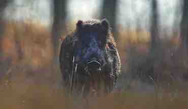 Invasive wild hogs have taken the South by storm, and controlling them is a battle.