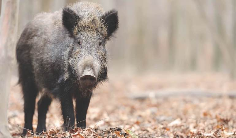 Hogs tear up the ground and anything they encounter. Is hope in sight?