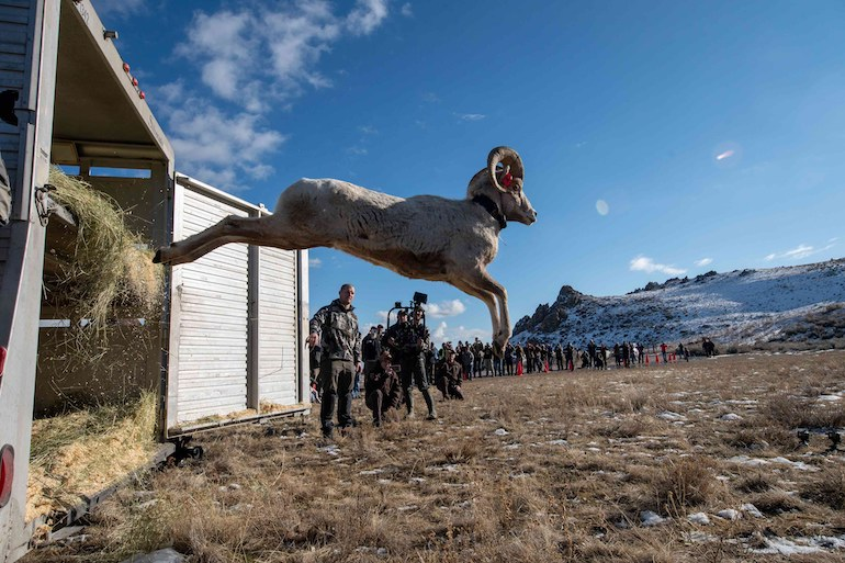KUIU conservation program moved 55 sheep from Montana to re-establish populations in Utah, North Dakota.