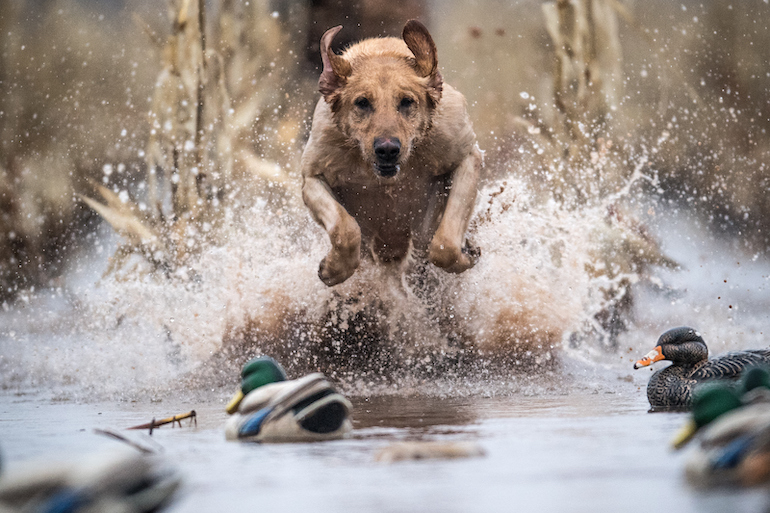 Late Ducks: Avoid These 3 Dog Disasters and Finish Strong