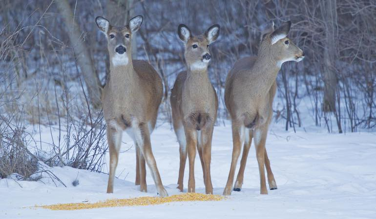 Here's a look at the regs and arguments about using bait while whitetail hunting.