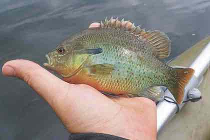 Knock the rust off your backcast by tempting hungry sunfish, crappies and perch this spring.