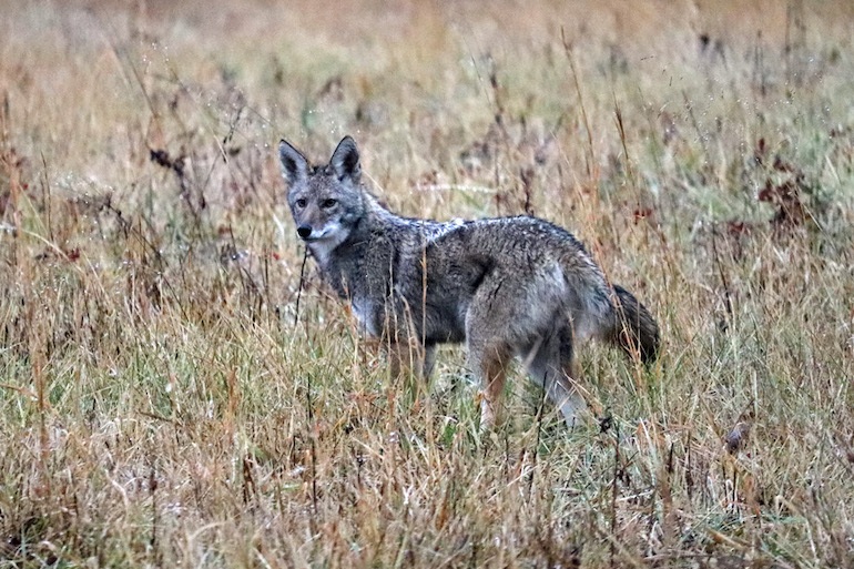 6 Sneaky Coyote Tactics to Separate Yourself From Pack