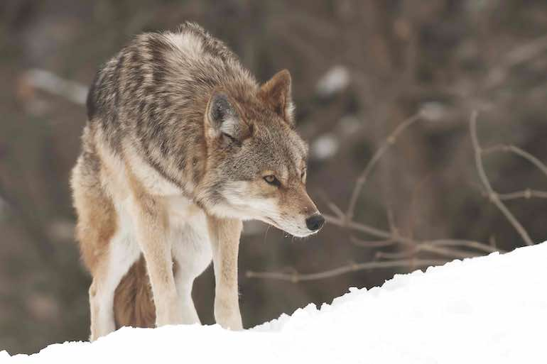 The key to dropping coyotes quickly is a bullet with dramatic expansion at moderate and long ranges.