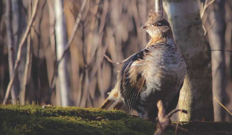 The challenges of the late season can also yield ruffed grouse success.