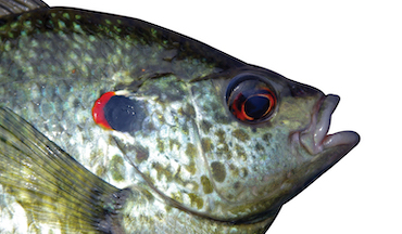 Shellcrackers are among the largest and most delicious panfish species, and also one of the most clever.