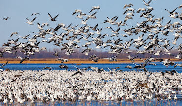 Don't put away that autoloader just yet. Greater snow geese are here.