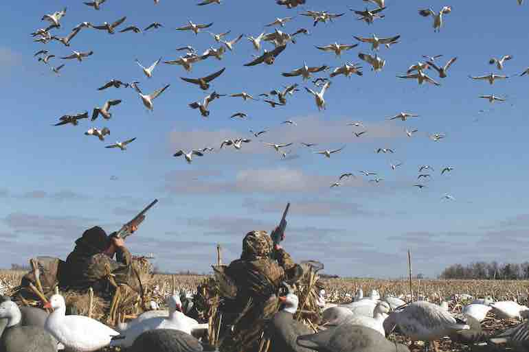 It's been two decades since spring snow goose season was federally mandated. Is it working?