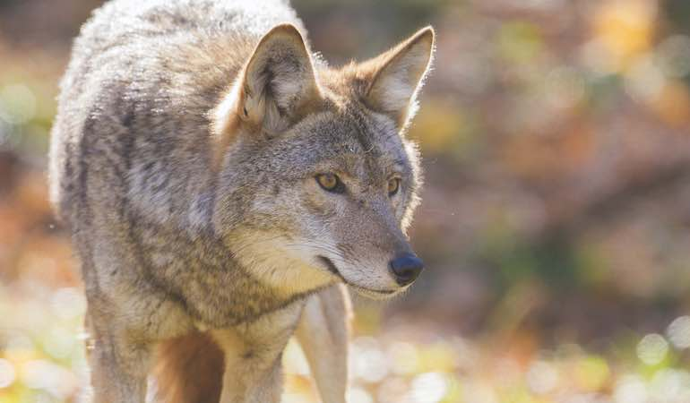 As coyotes increase their range in the South and East, they create growing deer-management concerns.