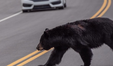 Sportsmen's Alliance: Bear population management is a continual need.