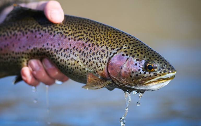 Some of the most productive trout waters are clear, cold tailwaters.