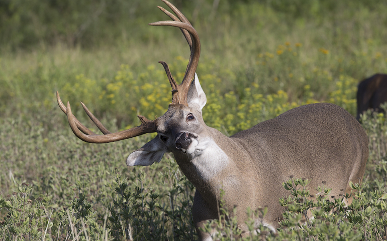 CWD is a threat to whitetail herds everywhere. What does it mean for hunters?