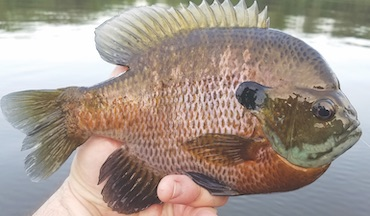 Use a weightless bobber rig for finicky panfish.