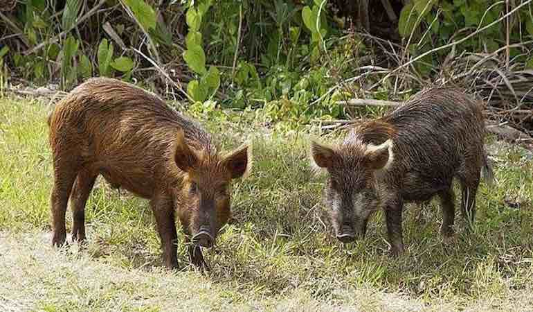 Try these tips to improve your wild boar hunting skill set.