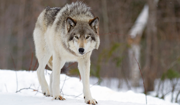 After federal delisting from endangered list, wolves open for harvest during quota season.