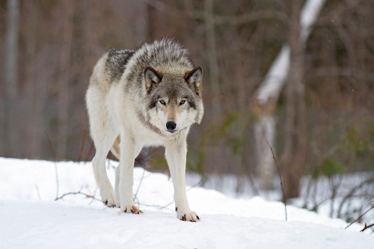 Gray Wolf Hunting, Trapping Opens in Wisconsin