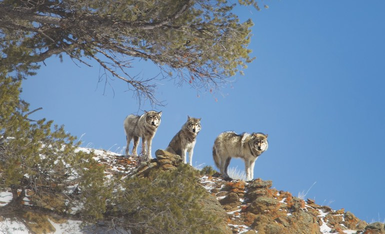 Environmental groups advocate no-hunting buffer zone around Yellowstone to protect wide-ranging wolves and bears.