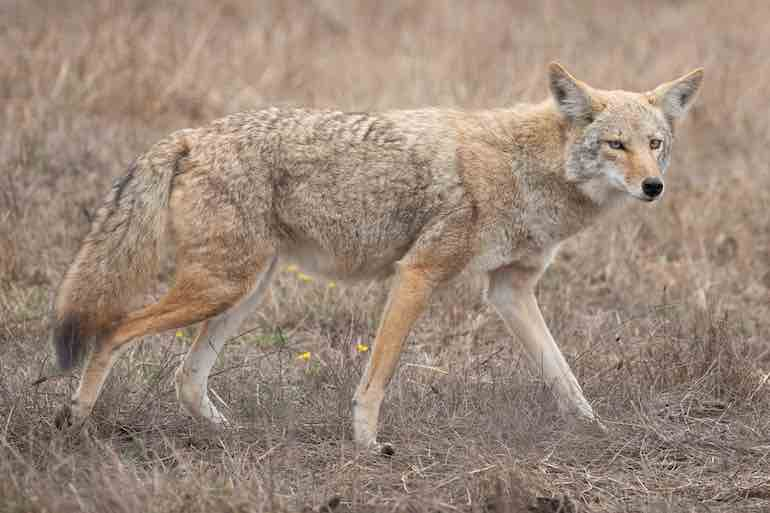 In the South a mix of woods, swamps and ag fields attracts all kinds of small mammals and birds—and coyotes.