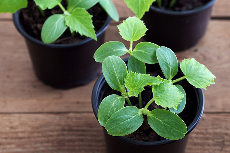 Cucumber seedlings growing in small pots