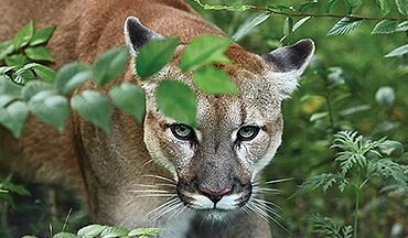 Sightings of mountain lions in Midwestern states have increased slightly in recent years, and evidence points to many being transient young cats in search of mates.