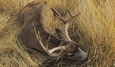 Follow these proven steps to help increase your chances to tag a big mule deer.