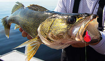 Walleyes often move deep in late summer; these three proven tactics will help bring them boatside.