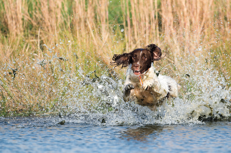 Gun-Dog-Jumping-Into-Water.jpg