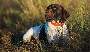 The standard is to rest your bird dog at least a day between hunts. Some handlers even say two days of rest is better.