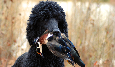 From time and trials, the poodle has earned its place among quality gun dogs.