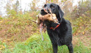 With a bit of pre-training, your gun dog can easily hunt in a new environment with a bird it has little experience with.