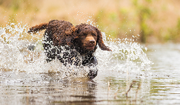 This gun dog is extremely intelligent, and will hunt just about anything with drive and determination.