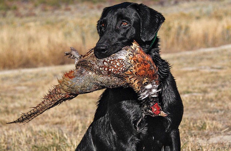 Looking to purchase your first gun dog? Start by considering these breeds.