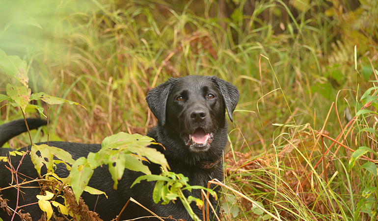 black lab in long grass