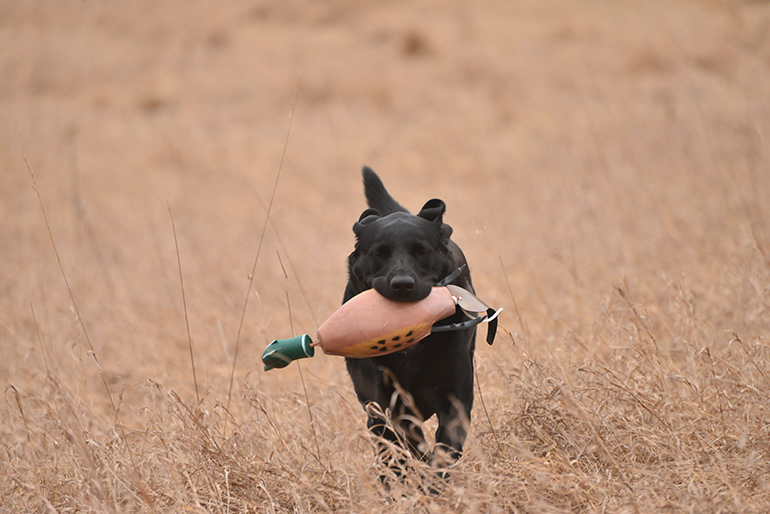 black lab running with pheasant dummy in mouth