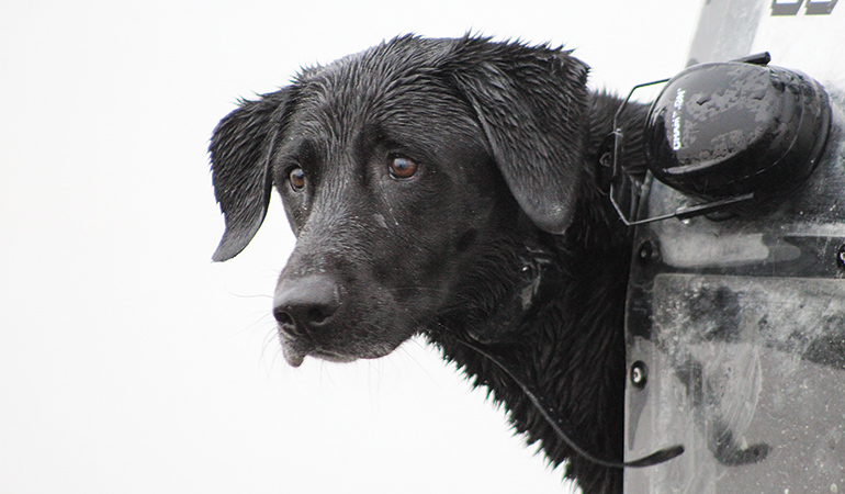 closeup of black lab while hunting