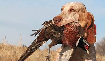 Today's Bracco Italiano is an ancient and stylish breed of gun dog that still works for the modern-day bird hunter.
