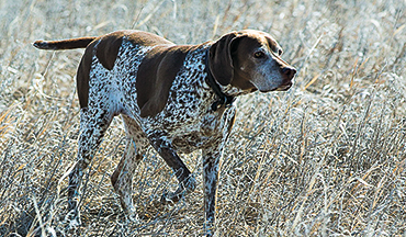This beautiful breed is more than just a German shorthair with a French accent.