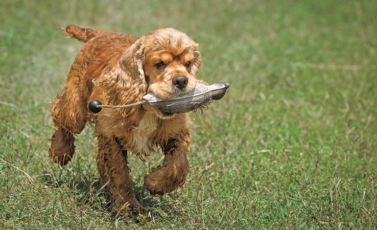 cocker spaniel retrieving training aid