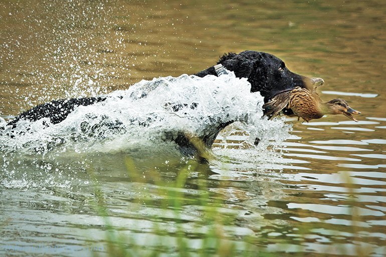 curly-coated retriever swimming with duck