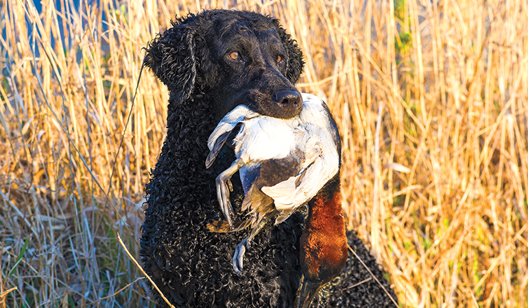 Meat Dogs: The Curly-Coated Retriever