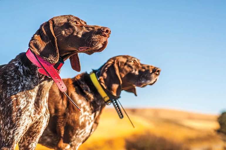 Busting 5 Common Gun Dog Medical Myths