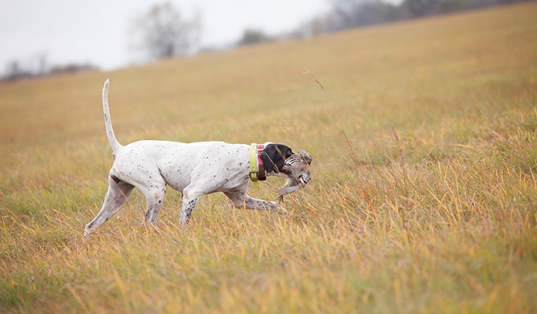 English pointer carrying bird through field