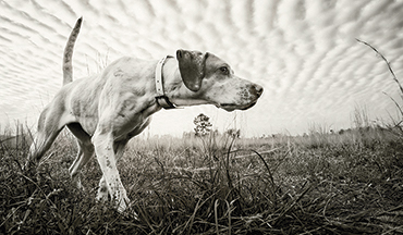 Loyal and hard-charging, English pointers are more than running machines.