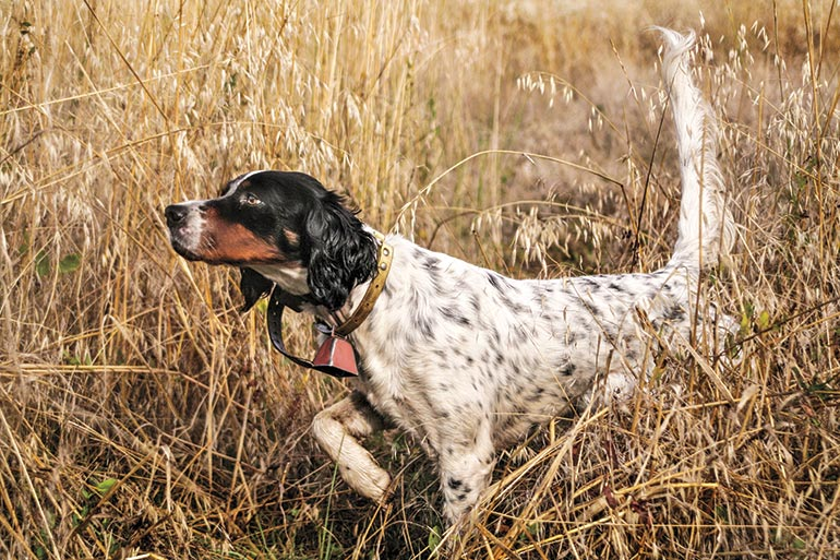English Setter pointing in field