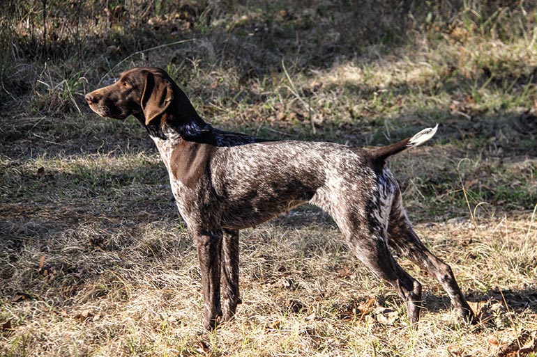 German shorthair pointer pointing