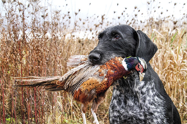 German Wirehaired Pointer holding rooster pheasant