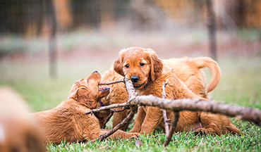 The first 12 weeks of your gun dog's life are vital to social behavior down the road.