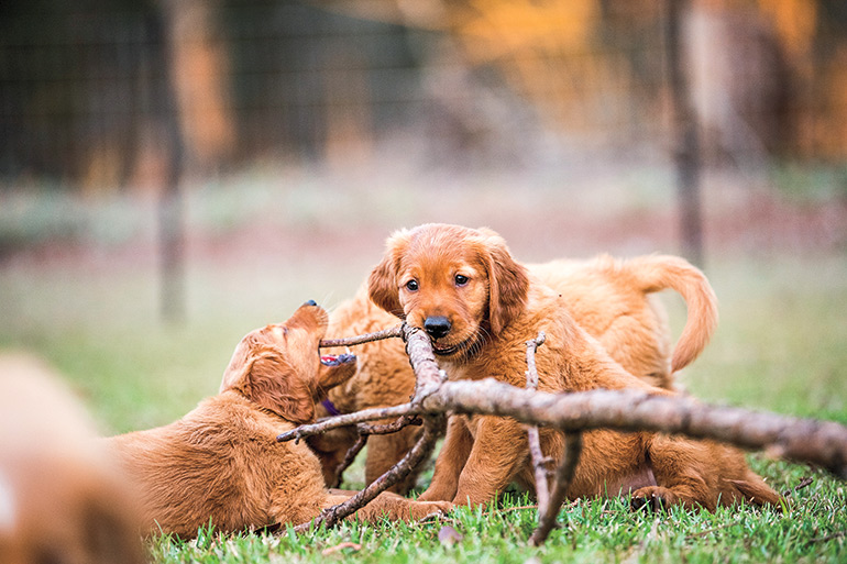 The Socialization Period for Gun Dog Puppies