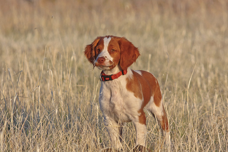Ne croyez pas ces mythes sur les chiens de chasse